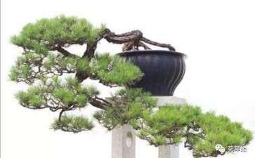 夏季山松盆景怎么浇水施肥的方法