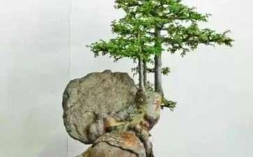 山松附石盆景的3个缺点和补救方法
