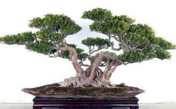 榕树盆景怎么制作主干 主枝 气生根