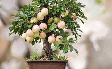 果树盆景怎么人工授粉的3个方法
