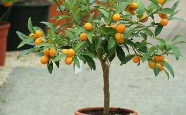 果树盆景怎么通风控水的2个方法