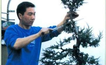 图解 赤松盆景怎么制作的方法