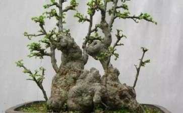 榔榆盆景怎么选盆上盆的方法