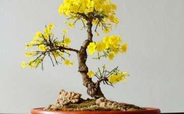 迎春花盆景怎么造型植株的3个步骤