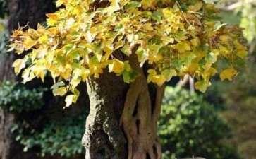 桂花盆景修剪不当的3个原因