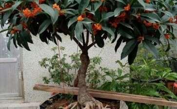 春季桂花盆景怎么修剪的3个方法