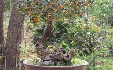 春季桂花盆景怎么浇水的4个步骤