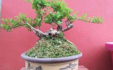 赤楠盆景怎么施肥修剪的方法