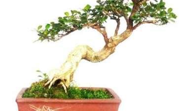 黄杨盆景怎么上盆用土的3个方法