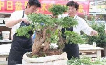 树木盆景怎么摘心摘叶的8个步骤