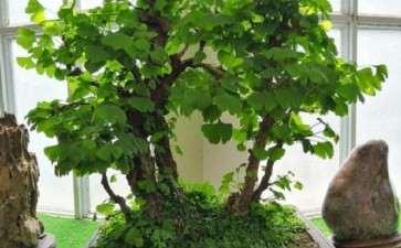 盆景银杏怎么浇水施肥的5个步骤