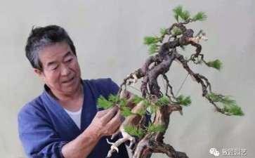 图解 日本展示赤松盆景怎么制作的过程