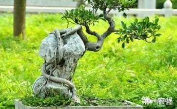 榕树盆景怎么修剪的5个方法