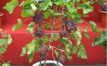 葡萄盆景怎么整形的4个方法