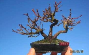 图解 红枫小苗9年制作微型盆景的过程