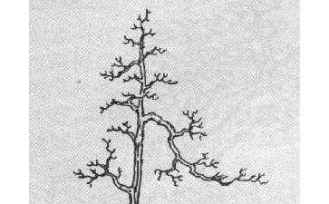 图解 单干高耸式树木盆最怎么造型的方法