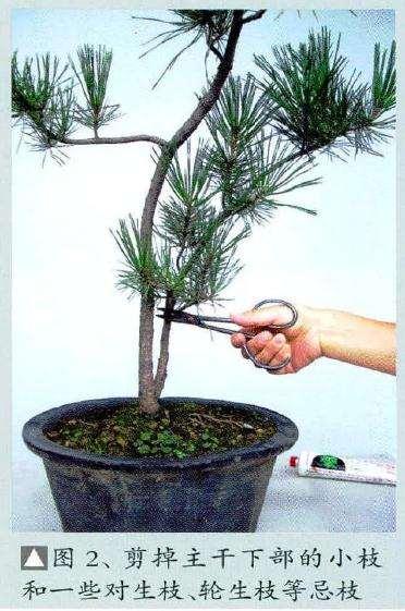 首先对树木做一些基本盆景修剪