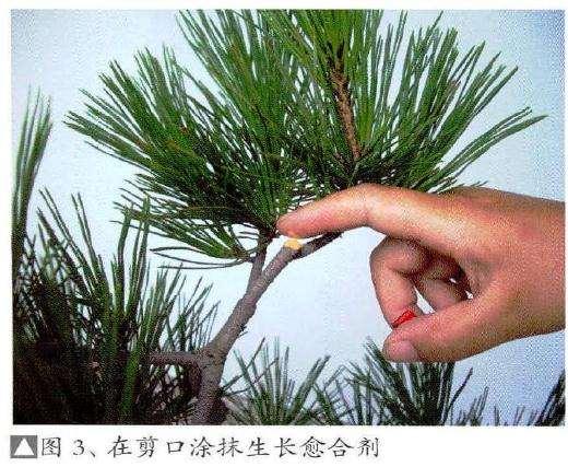 为防止盆景树木受伤