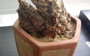铁树下山桩这样种 会生根吗 图片