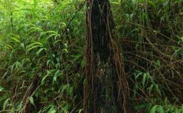 这铁树下山桩做盆景 怎么样 图片