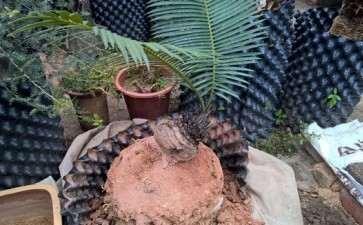 我买的石山铁树下山桩 怎么样 图片