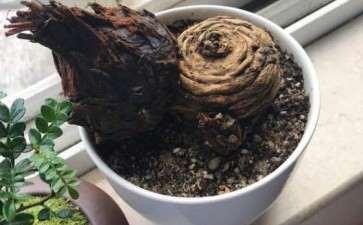 石山苏铁下山桩种植多久没软 是成活率