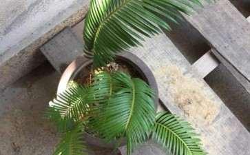 移栽铁树下山桩 需要把叶子剪掉吗