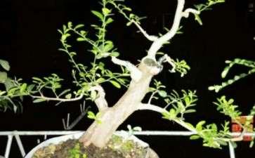 山桔下山桩顶过高 可以圈枝逼芽吗