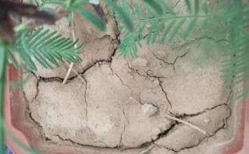 水杉盆景土龟裂 是浇水错误吗 图片