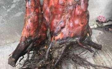 水杉下山桩气根的奇特造型 图片