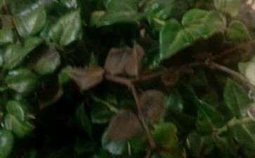 虎刺下山桩叶子怎么变枯黑了 图片