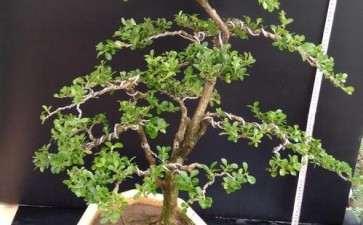 瓜子黄杨盆景怎么换盆养护的3个方法