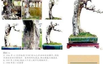 《共峥嵘》是韩学年先生制作的相思附石盆景