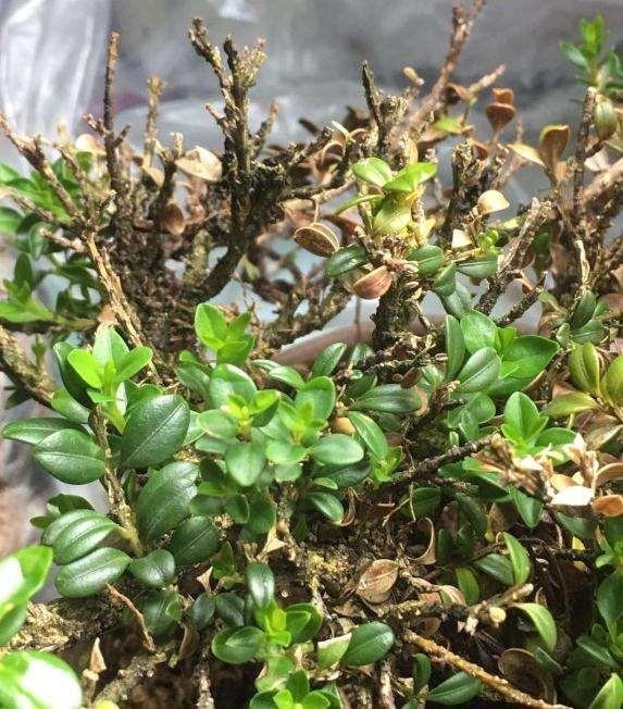 黄杨下山桩不套袋 叶子就脱水 芽也发干