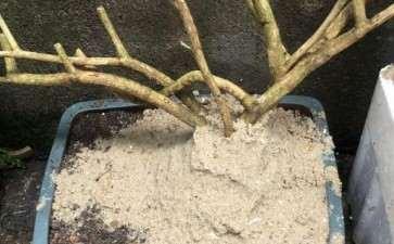 这种沙子可以种金弹子下山桩生桩吗 图片