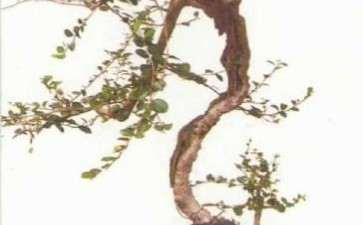 图解 韩学年教你怎么玩杂木盆景