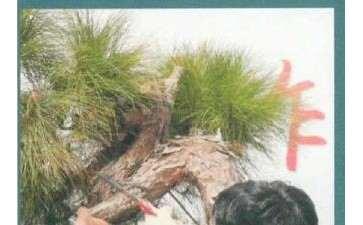 图解 山松盆景怎么改作的方法