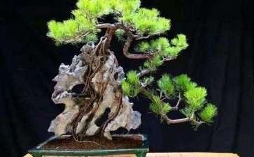 附石山松盆景怎么制作的方法 图片
