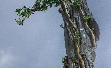 树石盆景艺术作品是师法自然的结果