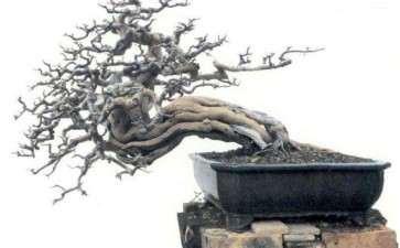 雀梅盆景的病虫害怎么防治 图片