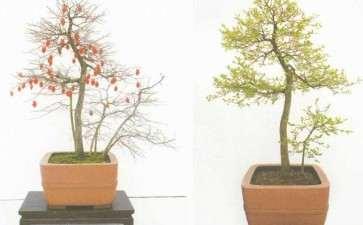 图解 一棵直干老鸦柿盆景怎么创作的方法