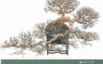 树桩盆景个性特征的应用规律 图片