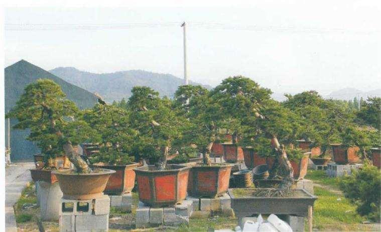 五针松盆景怎么苗培创作的方法