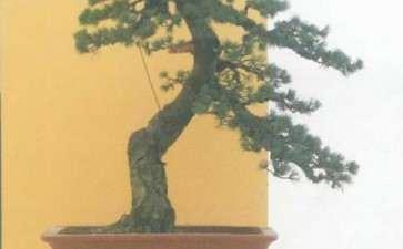 五针松盆景怎么苗培创作的方法 图片