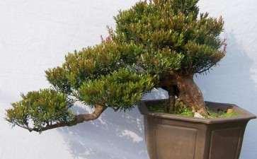 赤楠盆景怎么浇水施肥的3个方法