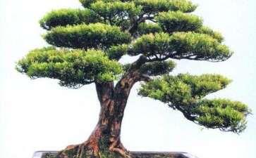 赤楠盆景怎么造型的2个方法 图片