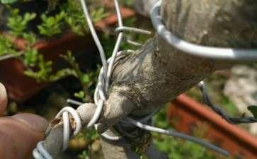对节白腊下山桩怎么发芽的方法