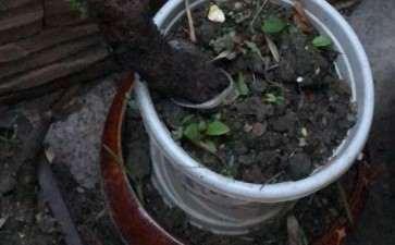老鸦柿下山桩 配土是河沙 今发芽啦
