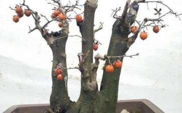 9月老鸦柿下山桩多久能发芽生根
