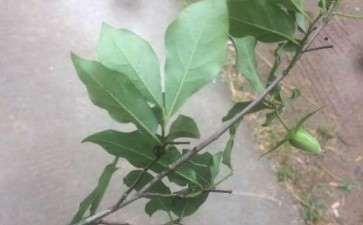 老鸦柿下山桩生桩到4个月了没发芽